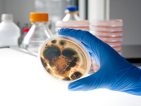 Schimmelpilz Aspergillus fumigatus kann für Mukoviszidose-Betroffene gefährlich sein