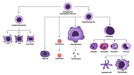 Abb.1: Hämatopoese inkl. am Allergiegeschehen beteiligter T-Zellen, Mastzellen, eosinophiler Granulozyten (©extender_01/ Fotolia.com)