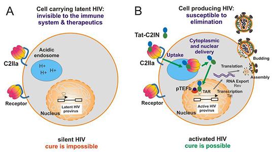 Abb. 2: Das Schaubild zeigt die Aktivierung von latentem HIV (©KirchhoffBarth Uni Ulm)