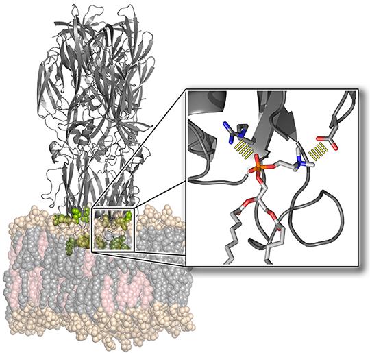 Kristallstruktur des Fusionsproteins Gc des Rifttalvirus (oben) wie es an eine Zellmembran (unten) bindet. © Universität Göttingen/Jochen Hub