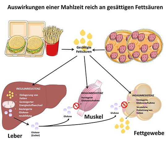 Schaubild zu den Auswirkungen von gesättigten Fettsäuren auf die Leber, Muskeln und das Fettgewebe. © DDZ e.V
