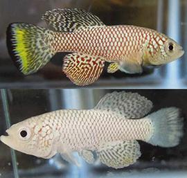 Abb. 1: Ein fünf Wochen alter Türkiser Killifisch erstrahlt in herrlichen Farben (oben). Im Alter von zwölf Wochen sind diese jedoch schon stark verblasst (unten) (© D. R. Valenzano).