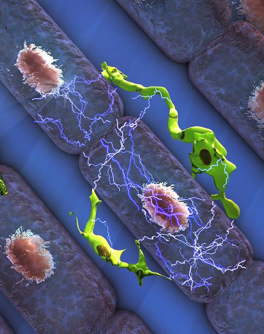 Abb. 1: Illustration der Wechselwirkung zwischen Herz-Makrophagen (grün) und Herz-Muskelzellen (lila). Dadurch wird die elektrische Impuls-Übertragung im Herzen unterstützt. ©M. Hulsmanns & M. Nahrendorf (Harvard University), Ella Maru Studio