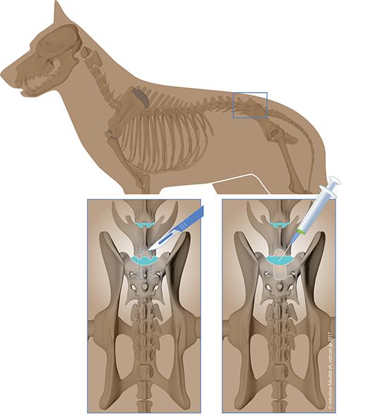 Therapie eines Bandscheibenvorfalls beim Hund mittels Stammzellentherapie © Vetsuisse-Fakultät, UZH