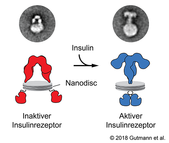 Funktion Insulinrezeptor © Gutmann et al. 2018