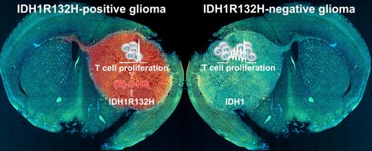 Mutierte IDH1: Der Austausch einer einzigen Aminosäure blockiert die körpereigene Abwehr und vereitelt Immuntherapien von Hirntumoren. Quelle: L. Bunse/DKFZ
