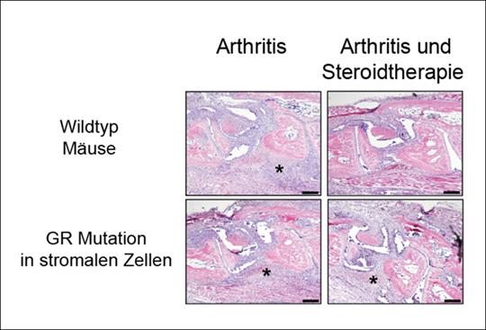 Histologische Untersuchungen von arthritischen Wildtyp-Mäusen.