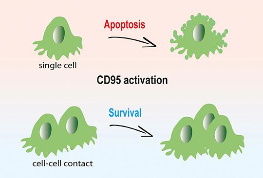 Abb. 1: In isolierten Krebszellen führt CD95-Aktivierung zur Apoptose (oben). Für Krebszellen in 3D-Gewebestrukturen ist das CD95-Signal dagegen ein Wachstumsimpuls (© G. Gülcüler/DKFZ).
