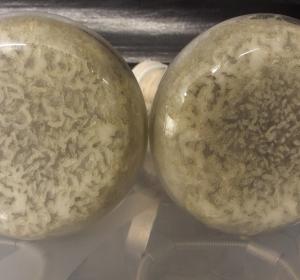 Tuberkulosewirkstoff aus afrikanischer Arzneipflanze
