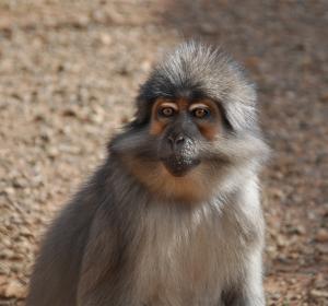 Warum infizierte Affen kein AIDS entwickeln: Unterschied zum Immunsystem des Menschen entdeckt