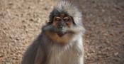 © Yerkes National Primate Research Center, Emory University, Atlanta (USA)