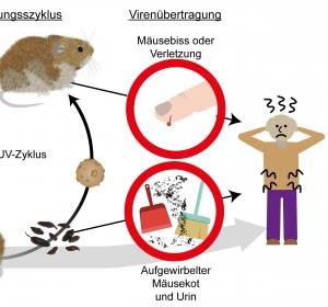Infektionsrisiko durch Hanta-Viren
