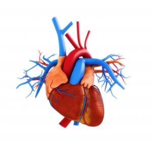 Studie: Mehr Energie für schwache Herzen