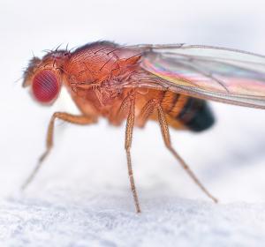 Stammzellen im Fliegenhirn: Forscher entdecken Regulator
