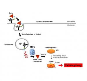 Mechanismus, wie Toxine des resistenten Bakteriums Clostridium difficile in Darmzellen eindringen, aufgeklärt