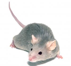 Stammzellen: Verringerung durch Alterungsprozess im Mausmodell nachgewiesen