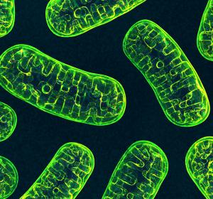 Heterotaxie: Mitochondrien und Zilien für fehlerhafte Organ-Anordnung verantwortlich