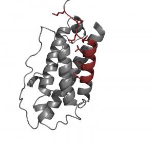 Chaperone erkennen unfertige Signalmoleküle im Immunsystem