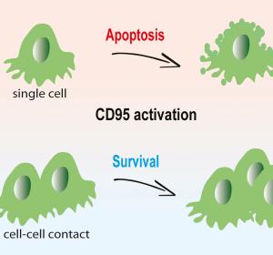 CD95-Aktivierung führt bei Zellen im 3D-Verbund zu Krebswachstum, bei isolierten Krebszellen zu Apoptose