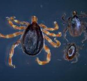Zecken-Aufruf: Gefürchtete Tropenkrankheiten bislang nicht eingeschleppt