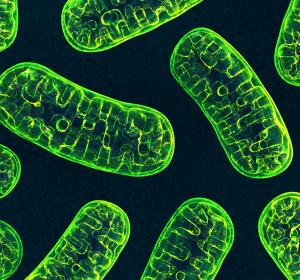 Mitochondrien: Dynamischer Anpassungsprozess nachgewiesen