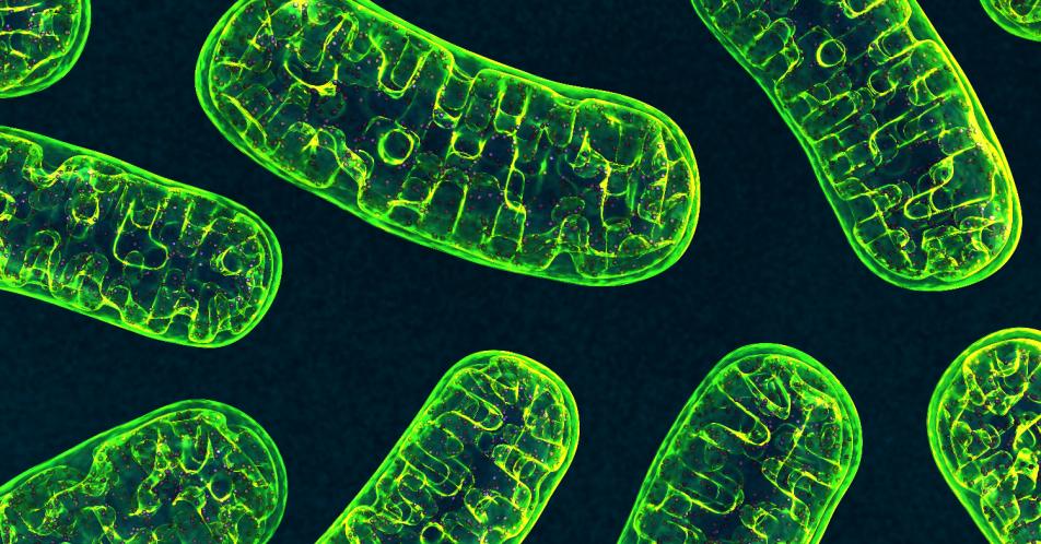Mitochondrien%3A+Dynamischer+Anpassungsprozess+nachgewiesen