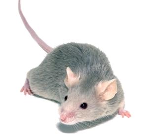 Diabetes: Im Tiermodell erfolgreiche Wirkstoffkombination könnte Remission ermöglichen