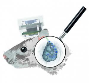 Schwerhörigkeit: Optisches Cochlea-Implantat erzeugt lichtgesteuertes Verhalten im Tiermodell