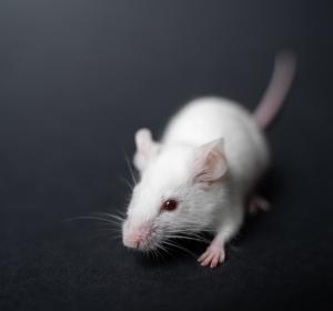 Organoide aus menschlichem Darmgewebe: Ersatz für Tierversuche