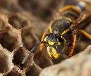 Mehr allergische Reaktionen nach Wespenstichen